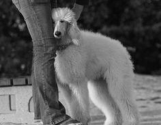 standard poodle beauty
