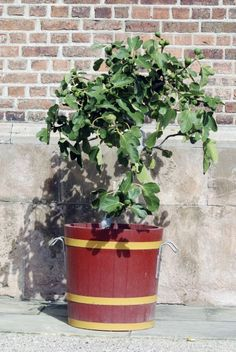 Fig Tree Container Planting: Tips For Growing Figs In Pots -  If you live in USDA zones 8-10, there's a fig for you. What if you live north of Zone 7? No worries, consider planting fig trees in pots. Read this article to find out how to care for potted fig trees and other info on container grown figs.