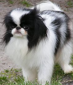 Japanese Chin breed info,Pictures,Characteristics,Hypoallergenic:No Cute Puppies, Dogs And Puppies, Doggies, Japanese Chin Puppies, Flat Faced Dogs, Puppy Pictures, Family Dogs, Dog Friends, Dog Life