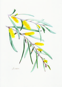 Australian Geographic Magazine ~ Naturewatch ~ Issue 128 ~ - INK Me! Australian Wildflowers, Australian Native Flowers, Australian Art, Australian Tattoo, Botanical Drawings, Botanical Illustration, Illustration Art, Illustrations, Plant Drawing