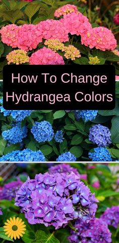 Garden Planning If you love hydrangeas and wish to change their color, check this out. - You can easily change hydrangea colors by changing the soil's Ph. Learn the details of how to change hydrangea colors, and enjoy the color show! Hortensia Hydrangea, Hydrangea Colors, Hydrangea Garden, Hydrangea Flower, Hydrangea Color Change, Shade Garden, Garden Plants, Purple Garden, Garden Shrubs