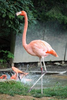 Round The Bend: Flamingos: At The Columbus Zoo