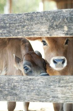 Too cute cow's Beautiful Creatures, Animals Beautiful, Beautiful Eyes, Gado Leiteiro, Farm Animals, Cute Animals, Baby Cows, Cute Cows, Mundo Animal