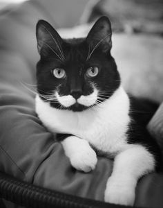 This black and white kitty has a nice moustache that twirls back like a villain of a Hollywood action thriller. The white bib at the bottom of this kitty's neck and the cool moustache marking above the lips complements each other very well. Funny Cats, Funny Animals, Cute Animals, Party Animals, Animals Images, Crazy Cat Lady, Crazy Cats, Beautiful Cats, Animals Beautiful