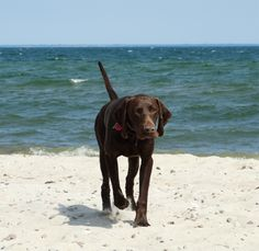 german shorthaired pointer on the beach