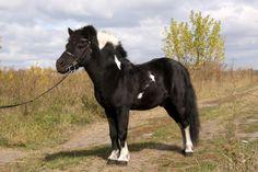 Kostenlose Bilder Shetland-Pony von www.tOrange-de.com Tags - #Zügel #Schecke #Farbe #Strasse #Natur #Sport #Pony #Hengst #Tier #Haustier #Shetland