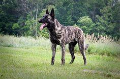 Dutch German Shepherd   Dutch Shepherd from Michigan - German Shepherd Dog Forums