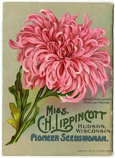"""A large Pink Comet aster fills the back cover of Carrie Lippincott's 1911 catalog.  Carrie Lippincott, the self-proclaimed """"pioneer seedswoman"""" and """"first woman in the flower seed industry"""" established her mail-order flower seed business in Minneapolis in 1891."""