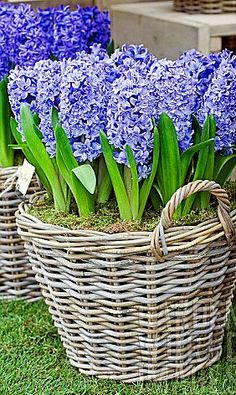 Gardening Autumn - HYACINTHUS_BLUE_TANGO_IN_BASKET - With the arrival of rains and falling temperatures autumn is a perfect opportunity to make new plantations Spring Bulbs, Spring Blooms, Spring Flowers, Purple Flowers, Planting Bulbs, Planting Flowers, Flowers Garden, Container Plants, Container Gardening
