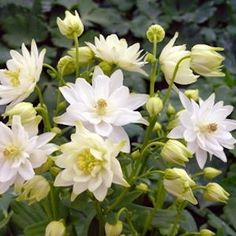 Columbine, Clementine White, Perennial Flower Seeds for the Shady Garden