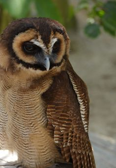 500px / Brown Wood Owl by Siori Aoi