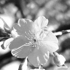 【bwnova16】さんのInstagramをピンしています。 《like a flower * #サクラ#桜 #cherryblossom #さくら #flower #myheartinshots #Japan#東京#tokyo #instagram#IGersJP#worldunion#jp_gallery#jp_gallery_bnw#モノクロ#白黒#team_jp_モノクロ#monochrome#monotone#lovers_nippon_artistic#icu_japan#team_jp_#instagramjapan#写真好きな人と繋がりたい#写真撮ってる人と繋がりたい#bw#blackwhite#blackandwhite#with_precious_bw》