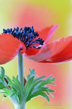 pretty anemone