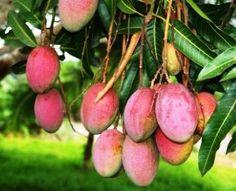 Lluvia atípica daña cosecha de mango ataúlfo en Tecpan, dicen - http://www.tvacapulco.com/lluvia-atipica-dana-cosecha-de-mango-ataulfo-en-tecpan-dicen/