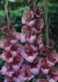 Gladiolus 'Torino' - Pheasant Acre Plants UK