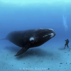 Photo by @BrianSkerry A 45-foot long, 70 ton Southern Right Whale swims next to a diver standing on the sea floor in New Zealand's Auckland Islands in the Sub Antarctic.
