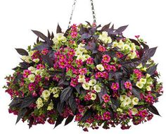 Love love love this hanging basket with the new hybrid of potato vine.