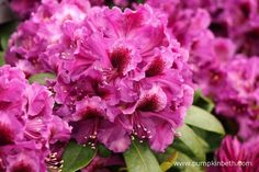 Rhododendron 'Orakel' is a new Rhododendron, it was launched by Millais… Chelsea Flower Show, Mauve Color, Year 2016, Gerbera, Chrysanthemum, Shades Of Purple, Flower Petals, Beautiful Flowers, Product Launch