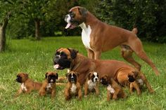 Happy boxer family!