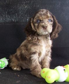 Dachshund and Poodle Mix Energetic Temperament : Dachshund And Poodle Mix Puppies. Dachshund and poodle mix puppies. Poodle Mix Breeds, Poodle Mix Puppies, Cute Puppies, Cute Dogs, Dogs And Puppies, Doggies, Poodle Cross Breeds, Dogs 101, Chihuahua Mix