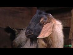Como Criar Cabras - Reproducción y Mejoramiento Genético- TvAgro por Jua...
