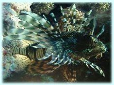 Members of the Scorpion Fish family, Lion Fish can be found all over the Great Barrier Reef. Their exotic looks are a big attraction, but seeing one isn't that easy - they like to lay low around crevices and small caves, although shallow waters are common territory for the Lion Fish which makes them a threat to swimmers.  The unusually elongated fins double up as lethal spines that will penetrate skin given the chance. A Lion Fish sting is very painful and immediate, resulting in muscle…