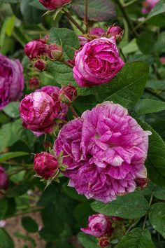 Gallica Rose: Rosa 'Agar' (France, 1843)