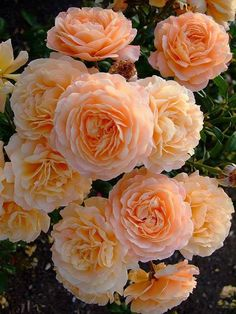 English Roses Roses are my very favorite flower and these apricot roses are stunning and very well cared for to bloom so beautifully!