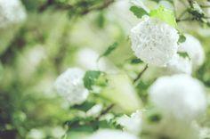 Viburnum x burkwoodii : la plante d'extérieur robuste