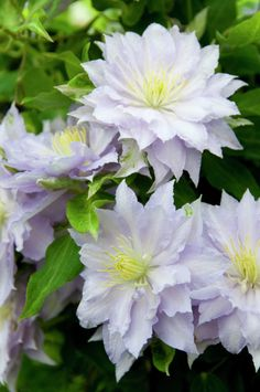 Clematis 'Dancing King' • Plants & Flowers • 99Roots.com
