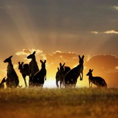 Majestic Kangaroos in front of a beautiful sunset in Australia