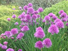 Chives that just seed themselves.
