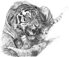 This is my tiger. My tiger drawing! Tiger Sketch, Tiger Drawing, Tiger Tattoo, Cat Tattoo, Yogi Tattoo, Big Cats Art, Cat Art, Animal Sketches, Animal Drawings