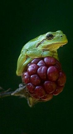 European tree frog on a berry