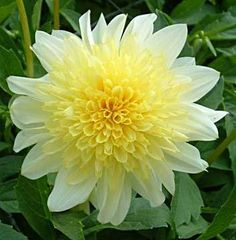 Freya's Paso Doble Dahlia - what a beautiful flower!!!
