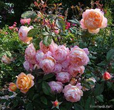 giardina climber good reblooming slow growing enterijer pinterest rose und g rten. Black Bedroom Furniture Sets. Home Design Ideas