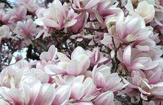 De Magnolia staat weer voor héél eventjes in bloei! En dat levert wonderschone foto's op