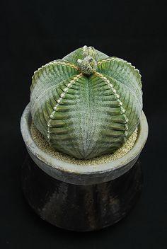 紅葉亀甲鸞鳳玉 Astrophytum myriostigma f.