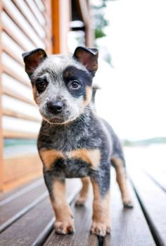 Blue Heeler puppy <3 we have had 2 blue heeler pups and i remember how cute they were when they were little!!!!!!