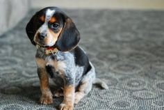 I WILL have a bluetick beagle someday!
