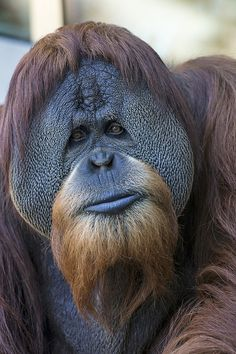 Orangutan's wise old face