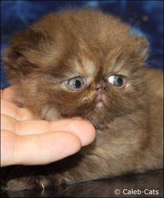 Chocolate Tortoiseshell Persian Kitten. Awwww look at his face! sooo cute!