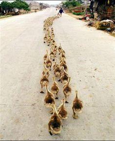 Quack Quack!!