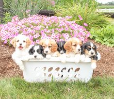 🐾🌸❤️ We are pleased to introduce to you the caring, loving, and bubbly little #Cavachon puppies! They love to meet new people and are sure to make easy, quick adjustments to life in your home! #LancasterPuppies www.LancasterPuppies.com Cavachon Puppies, Puppy Quotes, Lancaster Puppies, Love To Meet, Shiloh, Meeting New People, Puppies For Sale, Daffodils