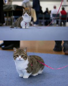 Munchkin cat... those short stumpy legs are adorable!  Christina you need a cat with stumpy legs like your dog.