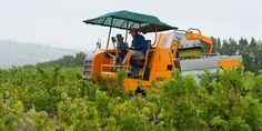 The harvest machine floats like a ship in the vineyards