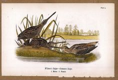Snipes: Wilson's and Common 1890 Bird Warren Chromolithograph