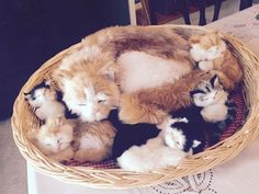 Perfect Petzzz MAMA Kitty Cat w/ Beautiful Longhair And Her 4 ADORABLE KITTENS!! #PerfectPetzzz
