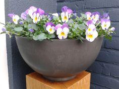 Prachtige viooltjes in eco bloempot surprise. http://www.homezy.nl/tuin/bloempotten-buiten.html