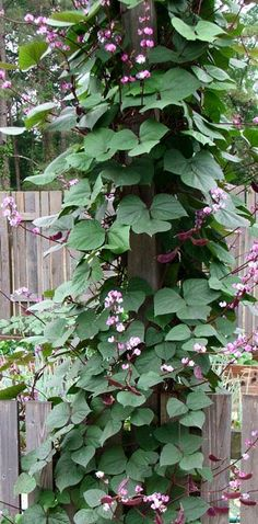 Hyacinth Bean Vine, great plant started with seed.  I have been planting these for over 5 years from seeds taken each year. Plant in full sun. These are spectacular. Never buy seeds after your first harvest. Put the seed in between wet paper towels and place inside a zip lock type bag. They will germinate faster and then transplant when the ground begins to warm...